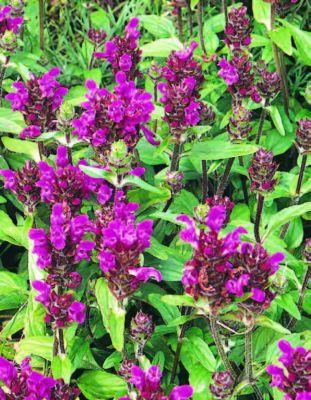 dominik-gartenparadies-staude-gro-blutige-braunelle-prunella-grandiflora-farbmischung-4-stauden