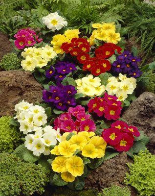 Primel, 4 Pflanzen in verschiedenen Farben blühend