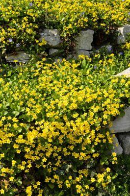 waldsteinia-5-pflanzen