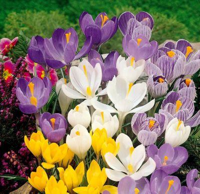 120 Zwiebel Großblumige Krokusse, Farb-Mischung...