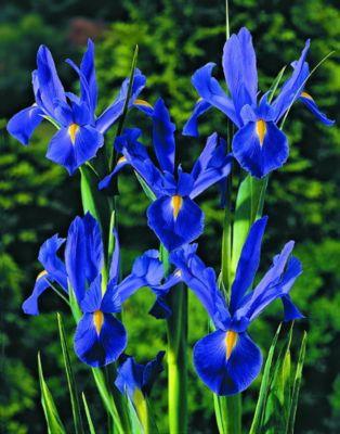 75-zwiebel-hollandische-iris-blau-bluhend-gro-e-7-8