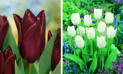 Großpackung mit 20 Tulpen in dunklen und weißen...