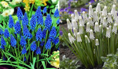 dominik-gartenparadies-gro-packung-mit-40-traubenhyazinthen-mischung-aus-wei-und-blau-bluhenden-zwiebeln-zwiebelgro-e-7-8