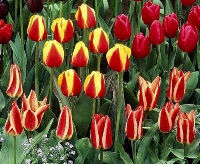 40 Zwiebel Greigii Tulpen Farb-Mischung Größe 1...