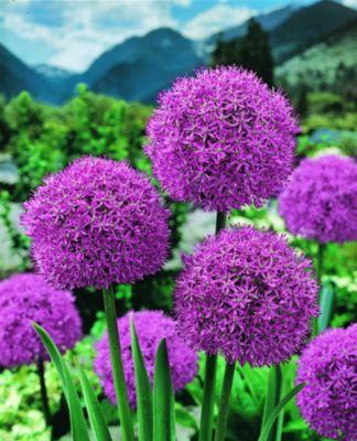Allium His Excellency, blaue Blütenbälle auf la...