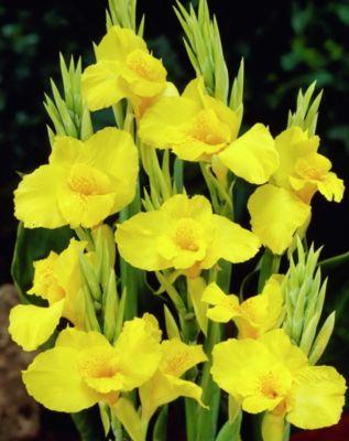 Canna gelb, Größe 1, 3 Zwiebel
