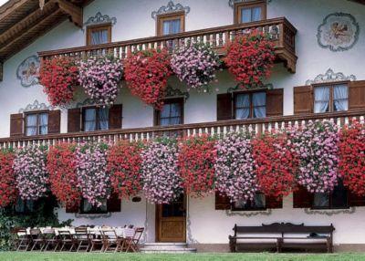geranien h ngend gro blumig gef llt wei 12 cm topf 6 pflanzen preis bild rating. Black Bedroom Furniture Sets. Home Design Ideas