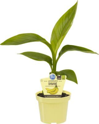 Dominik Gartenparadies Bananenpflanze, 1 Staude