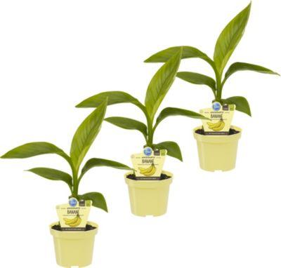 Dominik Gartenparadies Bananenpflanze, 3 Stauden