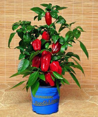 Dominik Gartenparadies Balkonpaprika Redskin®, 1 Pflanze
