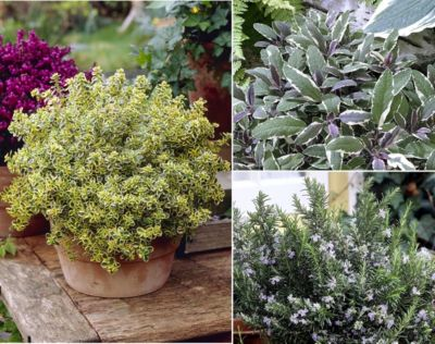 Dominik Gartenparadies 3 er Set Mediterrane Duft-Kräuter-Pflanzen: Salbei, Thymian, Rosmarin, je 1 Pflanze