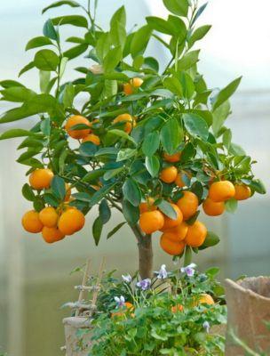 Dominik Gartenparadies Calamondin-Orange, Mandarinen-Busch 1 Pflanze