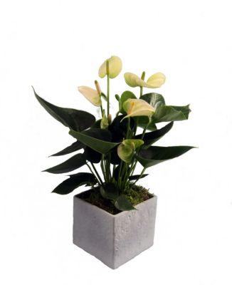 Flamingo-Blume, Anthurie, weiß blühend, 1 Pflan...