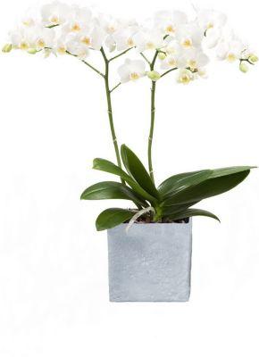 Orchidee (Phalaenopsis) weiß blühend, 2 triebig 1 Pflanze + 1 Scheurich Übertopf grau stone