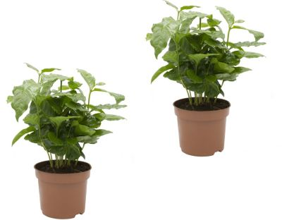 kaffee-pflanze-2-pflanzen