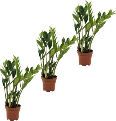 zamioculcas-3-pflanzen