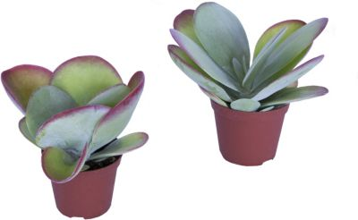 wustenrose-wustenkohl-kalanchoe-thyrsiflora-2-pflanzen-in-10-5cm-topf