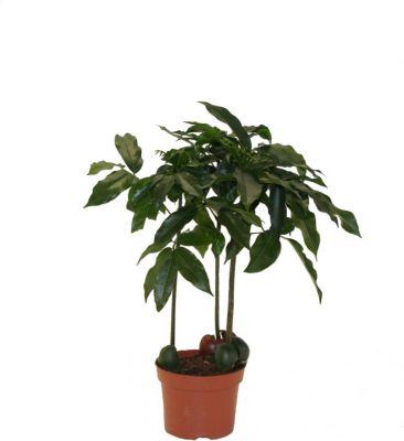 Dominik Gartenparadies Australische Kastanie (Castanospermum), 1 Stück