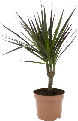 ananas baum dracena marginata 1 pflanze 10 12 cm topf ca 30cm hoch inkl topf. Black Bedroom Furniture Sets. Home Design Ideas