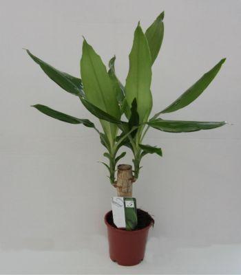 Drachenbaum, Dracena fragans, 1 Pflanze, 10-12 cm Topf, ca. 30 cm hoch