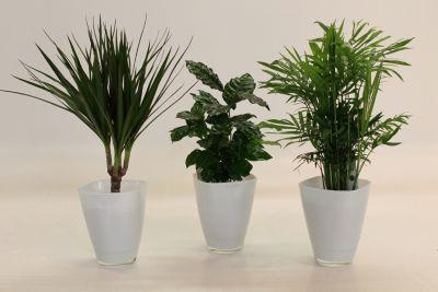Dominik Gartenparadies African-Set, Dracena Marginata, Kaffee-Pflanze + Zimmerpalme + Dekotopf, weiß