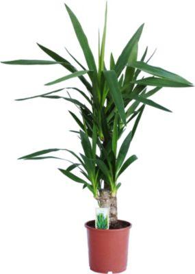 Sabalminor Palme Pflanzen Für Drinnen Draußen Für Dunkle