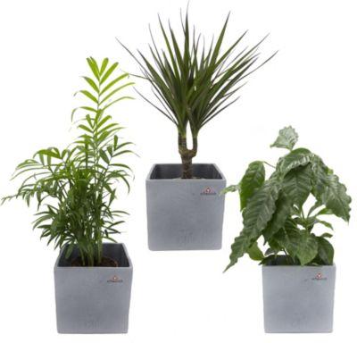 Dominik Gartenparadies Africa Trio, Kaffee-Pflanze, Zimmerpalme und Dracena Marginata + scheurich Würfel grau 3er Set