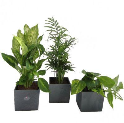 Sabal min Palmen für drinnen /& draußen Zimmerpflanze exotische Zimmerpalme Deko