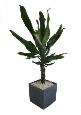 Drachenbaum Dracena Fragans im 12 cm Topf, ca, 30 cm hoch mit Scheurich Würfelumtopf ca. 14x14x14cm anthrazit-stone