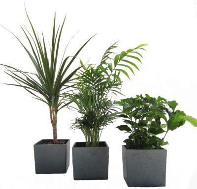 Dominik Gartenparadies African-Set, Dracena Marginata, Kaffee-Pflanze + Zimmerpalme + Scheurich Würfeltopf anthrazit-stone, ca. 14x14x14cm, 3 Pflanzen + 3 Töpfe