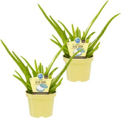 Dominik Gartenparadies Aloe vera ´Sweet´, 2 Stück
