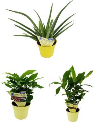 Dominik Gartenparadies 3 er Set: Aloe vera + Kaffee + Zimt-Aroma, je 1 Pflanze