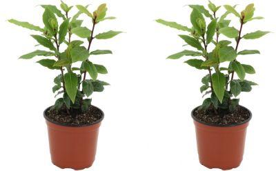 gewurzlorbeer-2-pflanzen