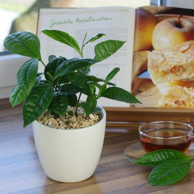 Dominik Gartenparadies Bio Echter Tee, 2 Pflanzen