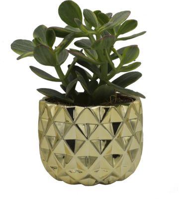 1 Geldbaum - Sukkulente Crassula ovata - im goldglänzendem Deko-Topf mit 13cm Durchmesser