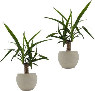 Dominik Gartenparadies Yucca-Palmen-Duo + Scheurich nature Edition cream, 2 Pflanzen + 2 Deko-Töpfe   Garten > Pflanzen > Pflanzen   Dominik Gartenparadies