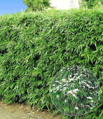 winterharte bambus hecke 10 pflanzen fargesia murielae. Black Bedroom Furniture Sets. Home Design Ideas