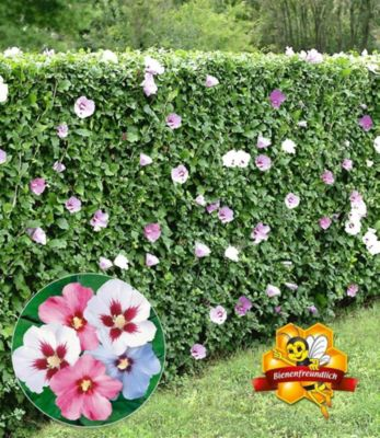 winterharte hibiskus hecke 10 pflanzen hibiscus syriacus. Black Bedroom Furniture Sets. Home Design Ideas