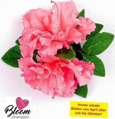 durchbl hende azalee 39 bloom champion 39 pink 1 pflanze. Black Bedroom Furniture Sets. Home Design Ideas