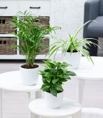 zimmerpflanzen mix tropic 3 pflanzen. Black Bedroom Furniture Sets. Home Design Ideas