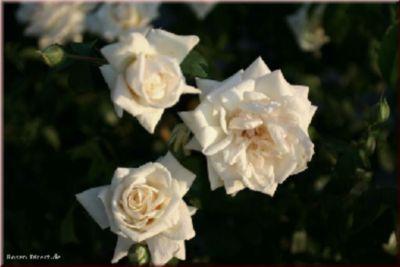 Ilse Krohn Superior® - Container Rose im 7 ltr. Topf