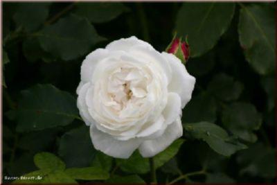 Boule de Neige - Container Rose im 5 ltr. Topf