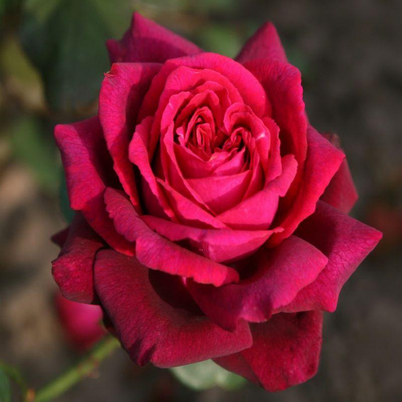 Dominik Gartenparadies Edelrose Gräfin Diana, p...
