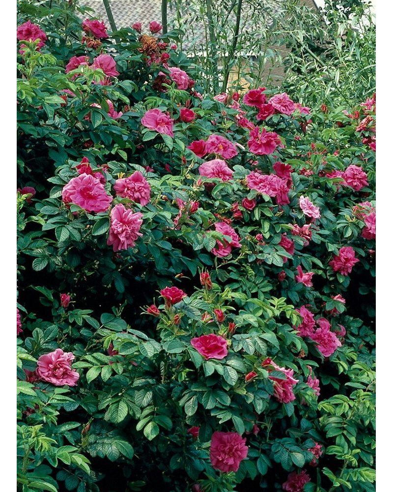 Dominik Gartenparadies Heckenrose, rot blühend,...