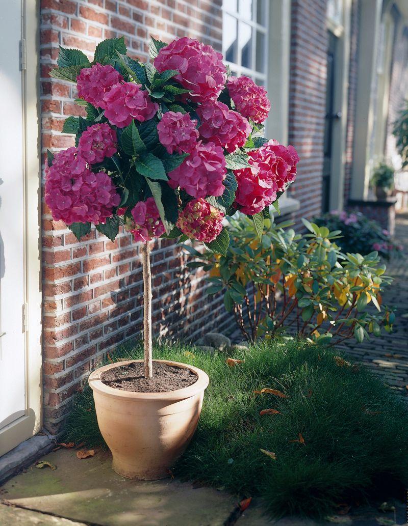 Dominik Gartenparadies Garten-Hortensie, rosa, ...