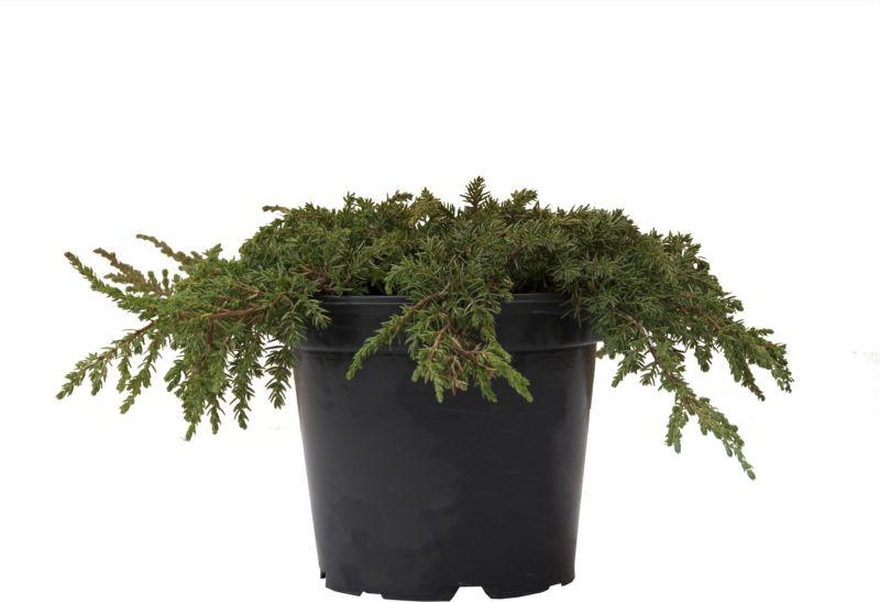 Dominik Gartenparadies Teppichwacholder Green C...