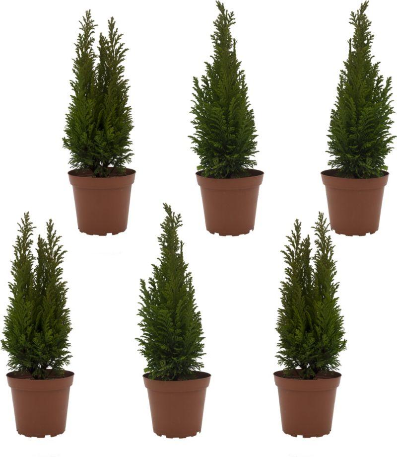 Dominik Gartenparadies Lebensbaum-Hecke, 6 Pfla...