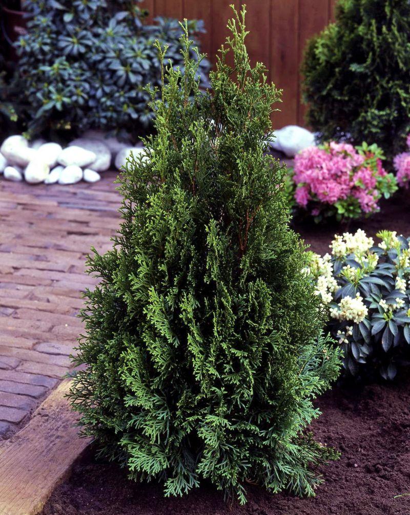 Dominik Gartenparadies Lebensbaum-Hecke, 40-60c...