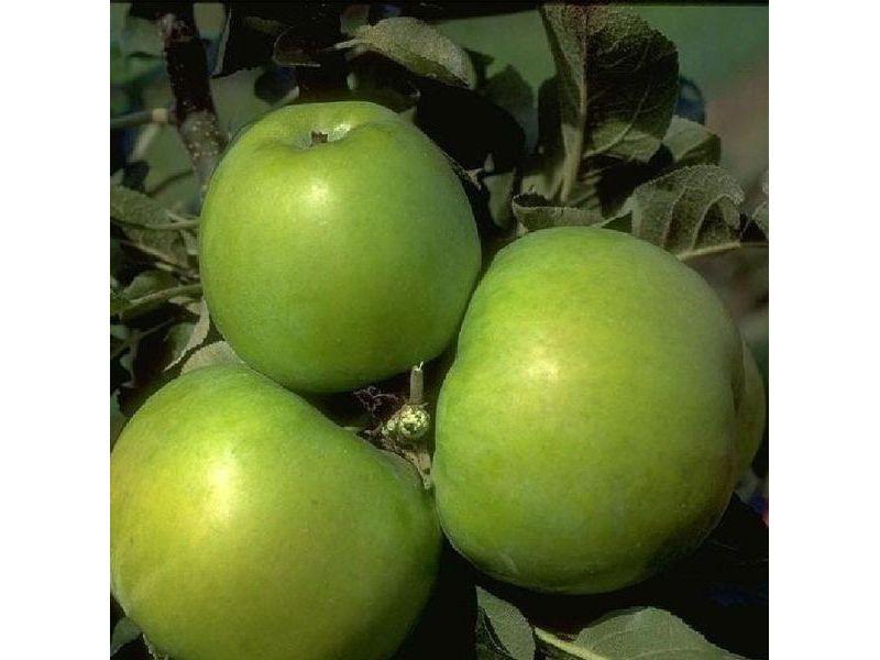 Dominik Gartenparadies Apfel Granny Smith Compa...