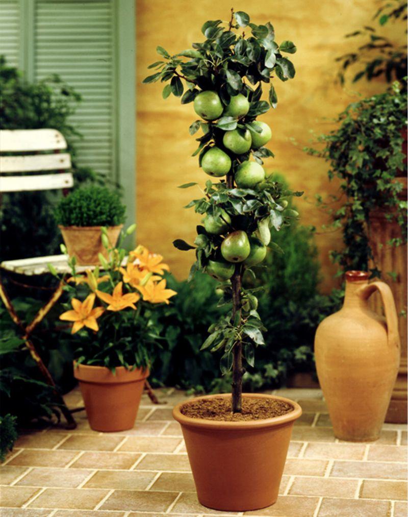 Dominik Gartenparadies Säulenbirne Condo, 1Stück